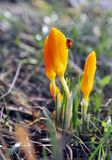 Wet crocus with Ladybug Royalty Free Stock Photography
