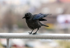 Wet crow clutching frosted balcony rail in the rain and flapping. Portrait of a miserable wet crow clutching frosted balcony rail in the rain and flapping its stock photography