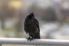 Wet crow in the rail sitting on balcony rai Royalty Free Stock Photos