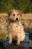 Wet and curly dog. After a shower of rain the hairry coat of the dog turns curly Royalty Free Stock Photo