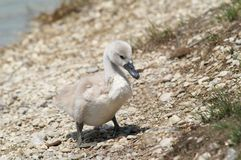 Wet cygnet Stock Photography