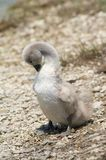 Wet cygnet Royalty Free Stock Photos