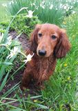 Wet dachshund on a flower bed. Dachshund in rain on a flower bed stock photos