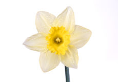Wet daffodil. Isolated daffodil blossom Stock Image