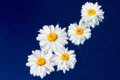 Wet Daisies. Daisies in a diagonal movement on the water surface Royalty Free Stock Photography