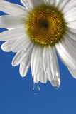 Wet Daisy. White Daisy with water droplet against a blue background stock image