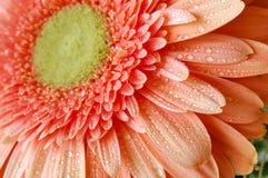 Wet daisy Stock Photo