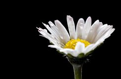 Wet daisy. A wet daisy with a black background stock image