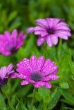 Wet daisy flower Stock Photos