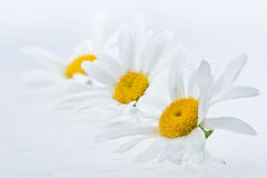 Wet daisy heads Royalty Free Stock Image