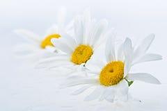 Wet daisy heads Royalty Free Stock Image