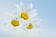 Wet daisy heads Royalty Free Stock Photography