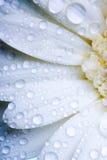 Wet daisy petals Royalty Free Stock Photography