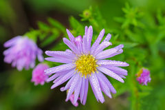 Wet daisy with purple extensions and yellow center (Asteraceae) Royalty Free Stock Image