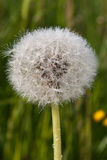 Wet dandelion. Dandelion seed with water drops Stock Images