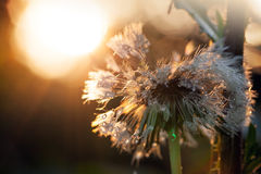 Wet dandelion flower after the rain Royalty Free Stock Photo