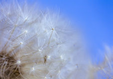 Wet dandelion Royalty Free Stock Images