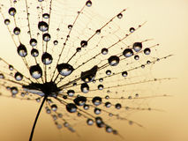 Wet dandelion seed Royalty Free Stock Image