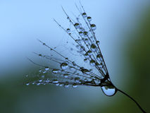 Free Wet Dandelion Seed Stock Images - 2815664