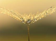 Wet dandelion seed Stock Photo