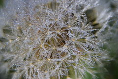 Wet dandelion seed Royalty Free Stock Images