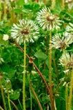 Wet dandelions. Stock Image
