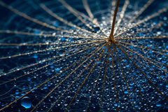 Wet dandillions with lots of droplets Royalty Free Stock Photo