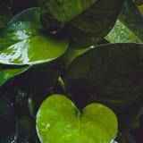 Wet dark leaves. Close up of dark wet green leaves Royalty Free Stock Photos