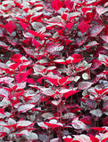 Wet dark red leaves Royalty Free Stock Photo