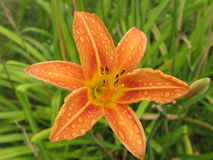 Wet daylily. A flower daylily in a summer garden after a rain royalty free stock images