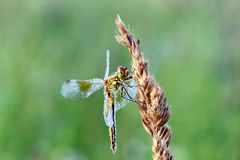 Wet from dew dragonfly Royalty Free Stock Photo