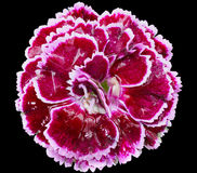 Wet Dianthus Flower Royalty Free Stock Photography