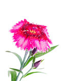Wet Dianthus Flower Stock Image