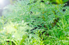 Wet Dill Closeup with Drops of Dew Royalty Free Stock Image