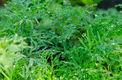 Wet Dill Closeup with Drops of Dew Stock Photos
