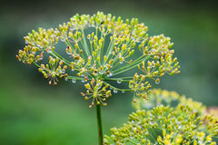 Wet dill flowers macro photo Stock Photography