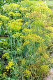 Wet dill plants in garden after rain in summer Royalty Free Stock Photos