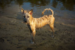 Wet and dirty brown dog, thailand Stock Photo