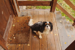 Wet and dirty cavalier king charles spaniel dog after the walk in autumn sitting at country house porch. Wet and dirty cavalier king charles spaniel dog after Royalty Free Stock Image