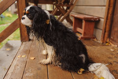 Wet and dirty cavalier king charles spaniel dog after the walk in autumn sitting at country house porch. Wet and dirty cavalier king charles spaniel dog after Royalty Free Stock Images