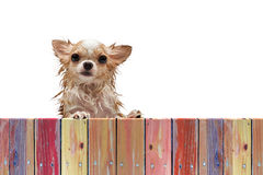 Wet dirty chihuahua dog look through a rustic wooden fence Stock Photo