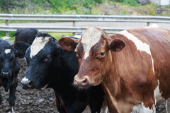 Wet and dirty Cows in a pen. Wet and dirty Cows in a muddy pen Stock Images