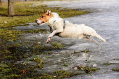 Wet and dirty fluffy dog jumping from winter to spring. Jack Russell Terrier playing at park Stock Photography