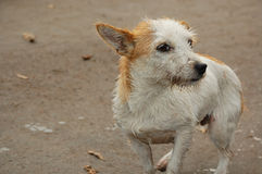 Wet and dirty stray dog Stock Photography