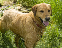 Wet dog Royalty Free Stock Photography