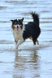 Wet dog. A wet dog is walking throw water Stock Photography