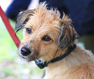 Wet Dog. Sweet looking wet dog face Royalty Free Stock Photography