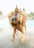Wet dog. A wet dog shaking off at a pool Royalty Free Stock Photos