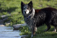 Wet Dog. A wet dog on the river bank after an afternoon swim Royalty Free Stock Images