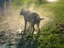 Wet Dog. Dog shaking the water off stock photography